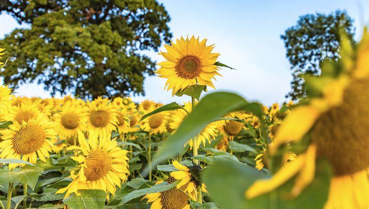 sunflowers20-8-17-218