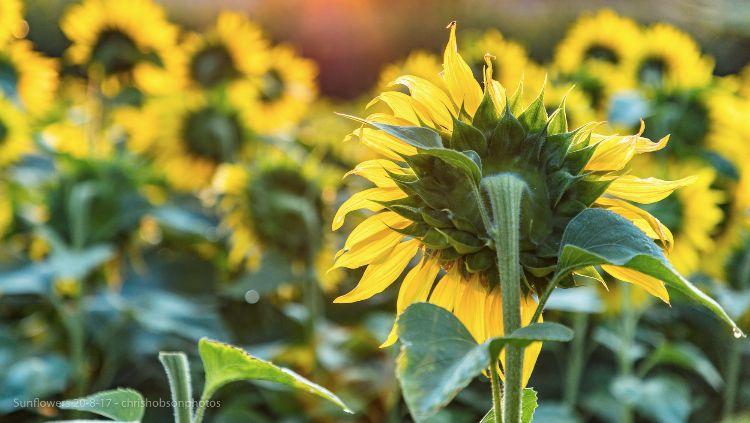 sunflowers20-8-17-221