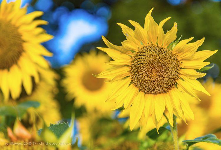 sunflowers20-8-17-223