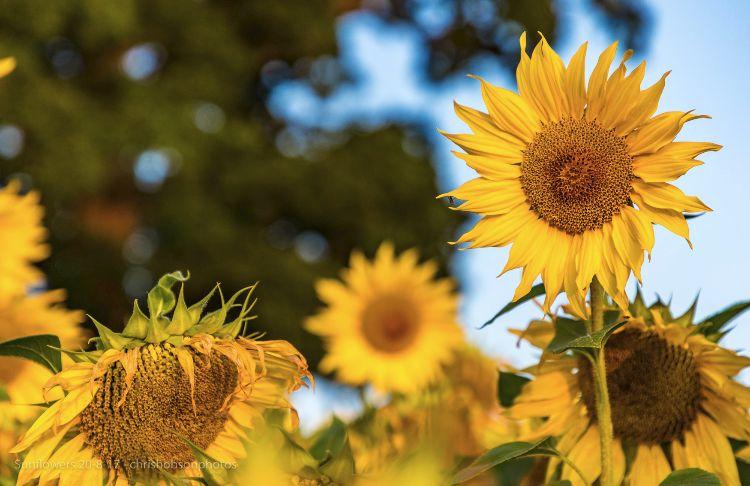 sunflowers20-8-17-227
