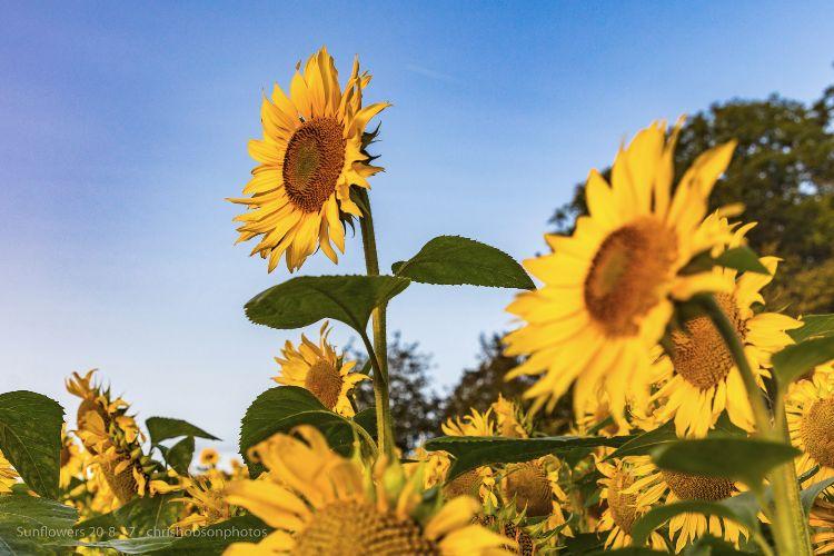 sunflowers20-8-17-231