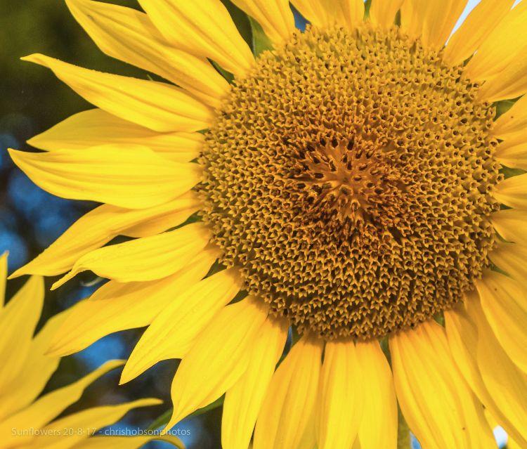 sunflowers20-8-17-233-2