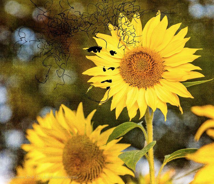 sunflowers20-8-17-237-Edit