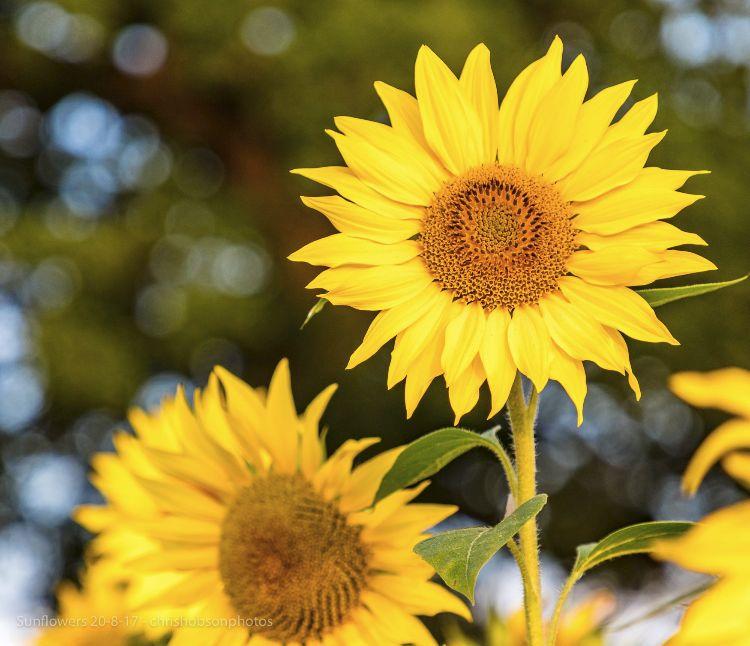 sunflowers20-8-17-237