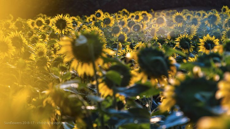 sunflowers20-8-17-240
