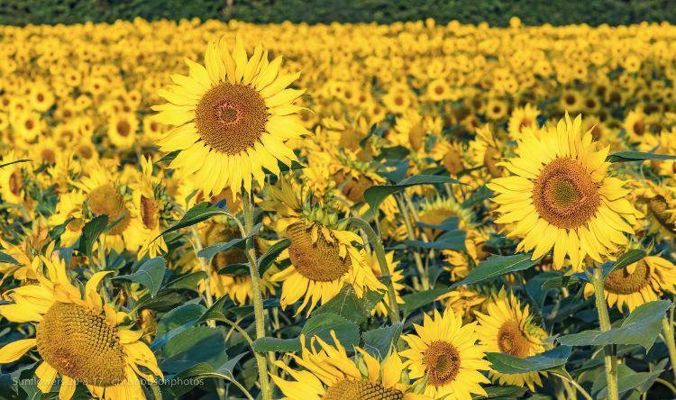 sunflowers20-8-17-254