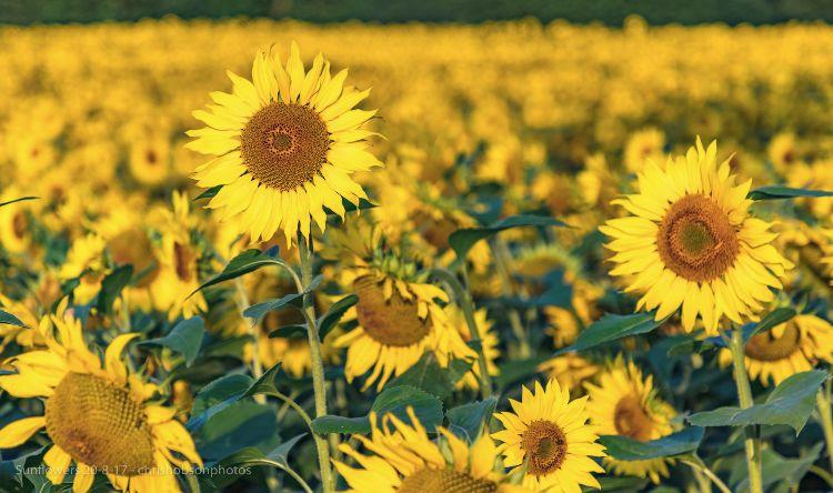 sunflowers20-8-17-255