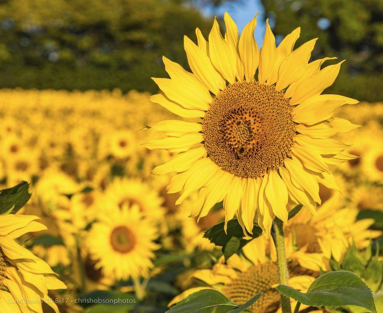 sunflowers20-8-17-259