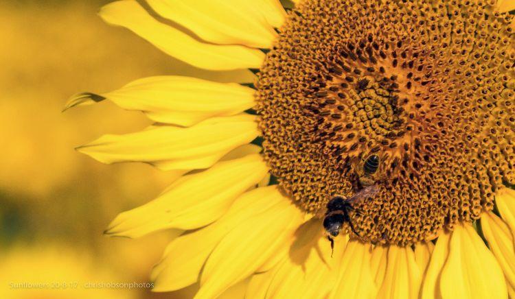 sunflowers20-8-17-260