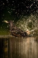 Starling bathing 2