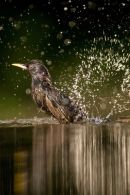 Starling bathing