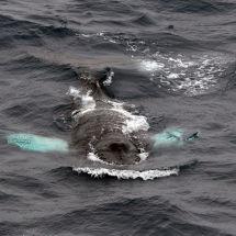 Surfacing Humpback Whale