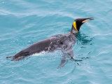 Swimming King Penguin