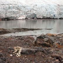 Remants of a Polar Bear's Lunch