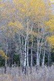 Aspen in the fall 8