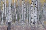 Aspen in the fall 6