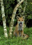 Yawning Fox Club