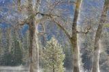 Steaming Oak Trees