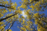 Aspen in the fall 3
