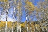 Aspen in the fall 9