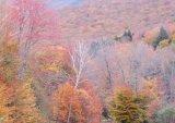 White Mountain Maples