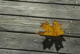 Boardwalk Leaf