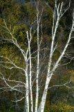 White Tree in White Mountains