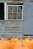 Pumpkins at the Old Hen Farm