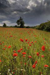 Storm in a Poppy Field