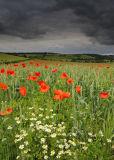 Daisy & Poppies