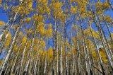 Aspen in the fall 2