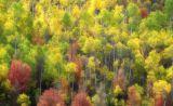 Aspens in the Fall