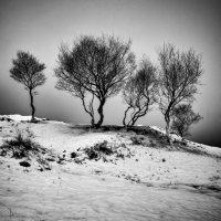Birch trees snow