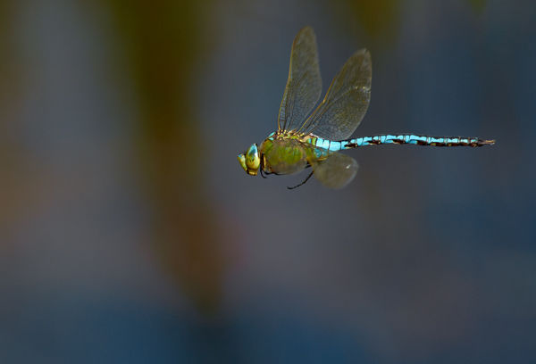 Emperor dragonfly 1
