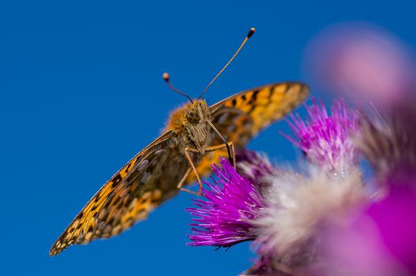 Fritillary buterfly 2