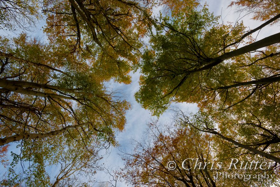autumn tree canopy