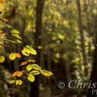 backlit autumn leaves