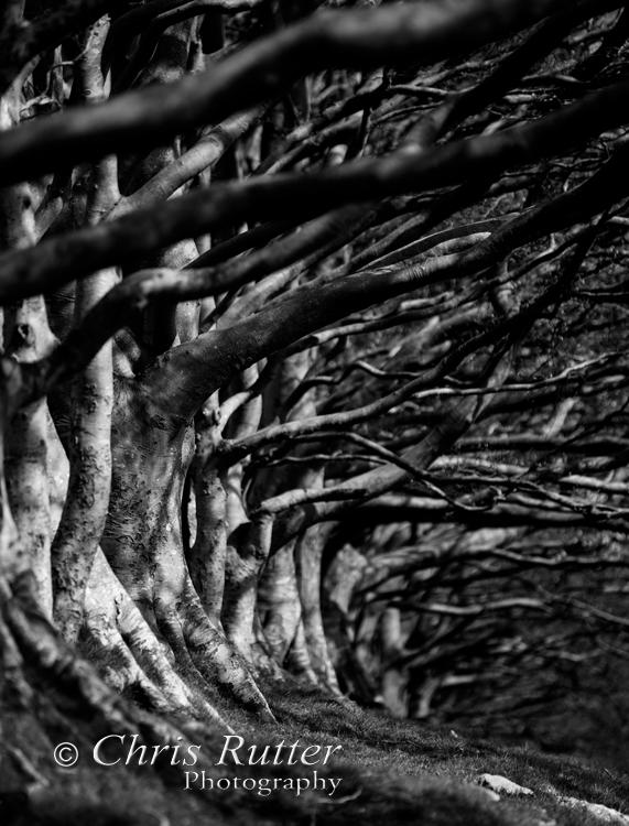 draycott sleights trees