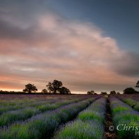 lavender field sunrise