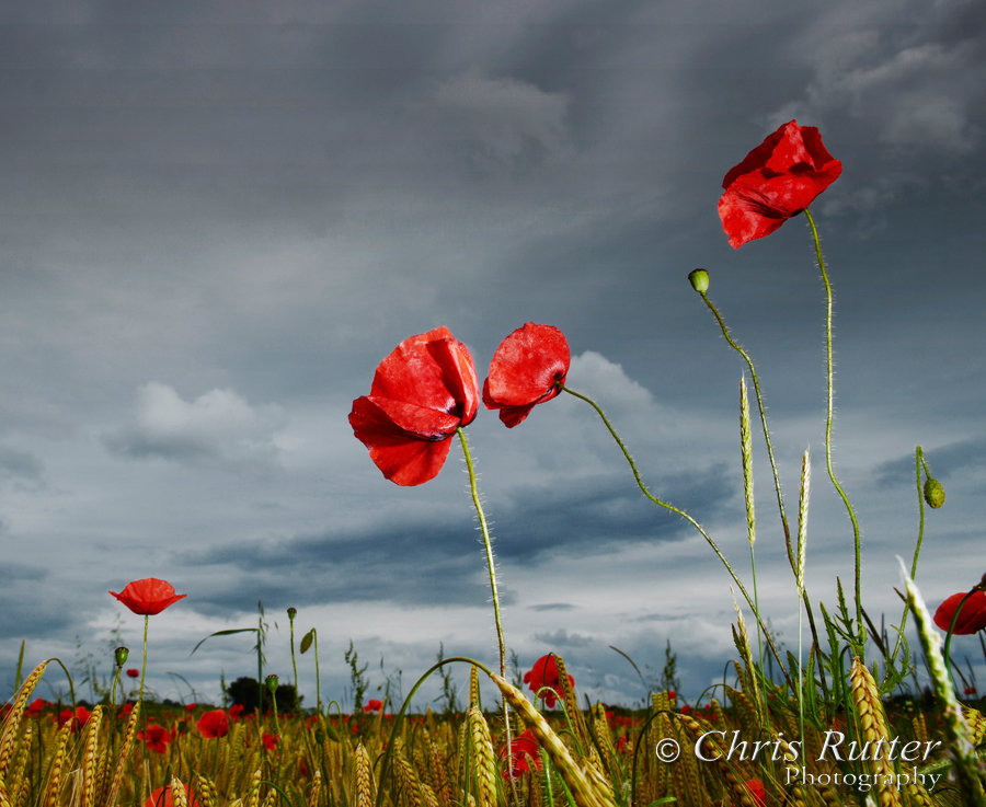 Poppies with stormy sky