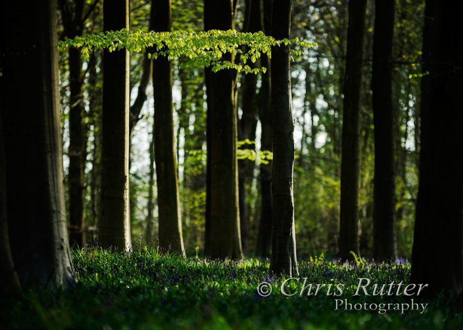 wood spring bluebells