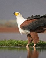 African Fish Eagle; 3rd in Digital section; by Steve Hitchen