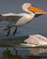 Dalmatian Pelican Landing; 2nd place in Digital section; by Steve Hitchen