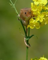 Haervest Mouse on Rapeseed; 3rd place in B section prints; by Phillip Green