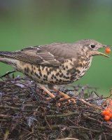 Mistle Thrush; 1st place in Digital section by steve Hitchen
