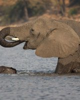 Mother Elephant and Calf crossing River; 3rd in A section prints; by Steve Hitchen