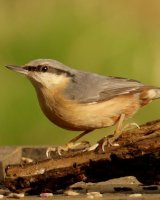 Nuthatch; 3rd place in B section by Phillip Green