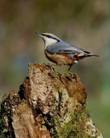 Nuthatch on Rotten Stump; 3rd place in B section prints; by Phillip Green