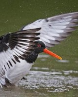 Oystercatcher; 3rd place in Digital section; by Steve Hitchen