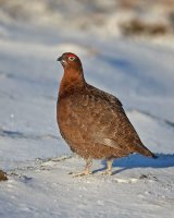 Red Grouse; 3rd place in Digital section by Steve Hitchen